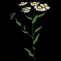 手書き風,植物,花,葉,雑草,ヒメジョオン,白,除草,防草,生える,育つ,抜く
